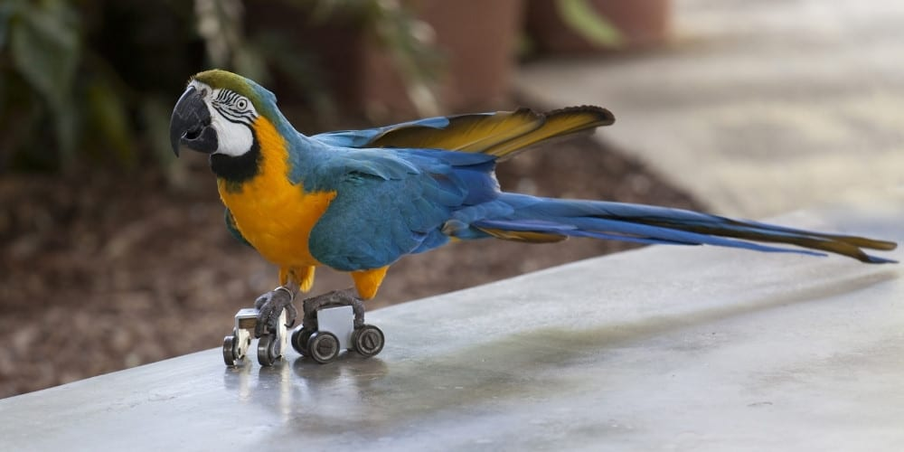 A trained blue-and-gold macaw skating on a sidewalk with roller skates.