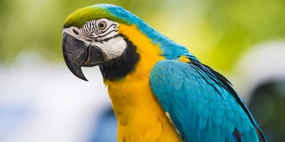 A blue-and-gold macaw perched outdoors with blurred trees in the distance.