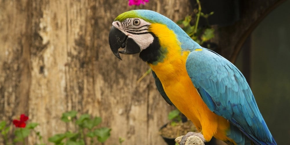 A blue and gold macaw in outdoor aviary with flowers.