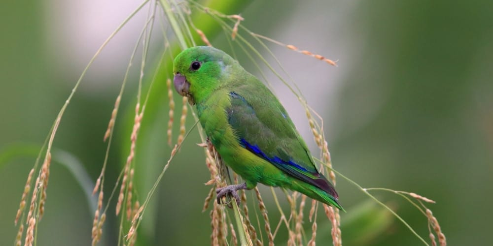 A lovely blue-winged parrotlet perched on a long grass stem in the wild..