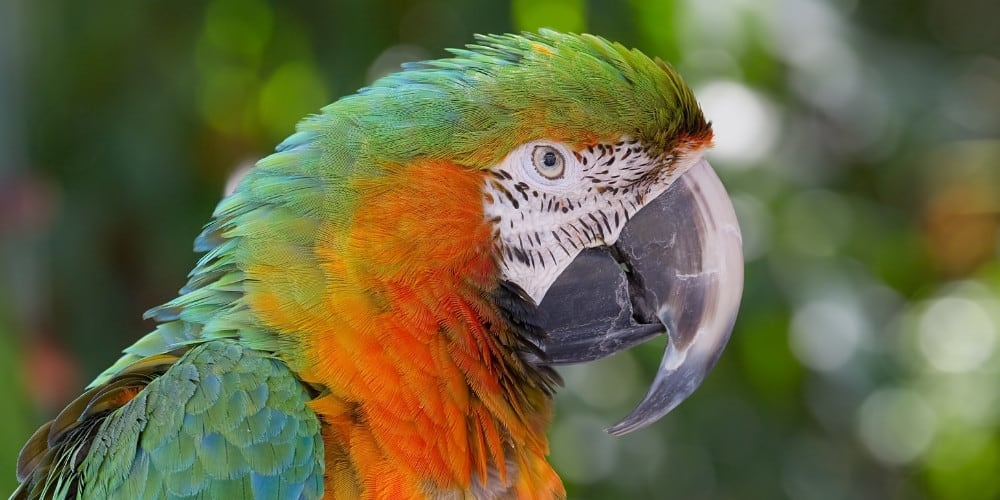 Side view of the head of a catalina macaw with slightly raised feathers.