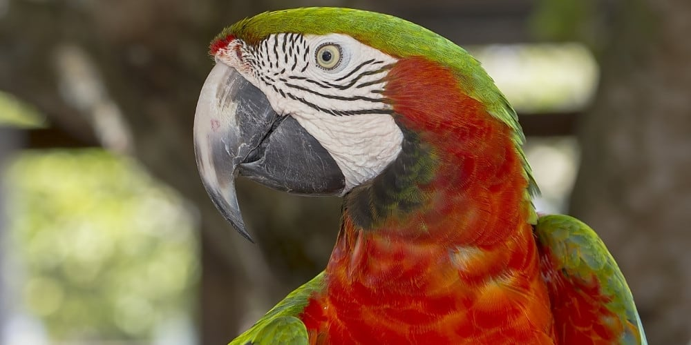 A catalina macaw with his head turned to his right and his wings held slightly open.