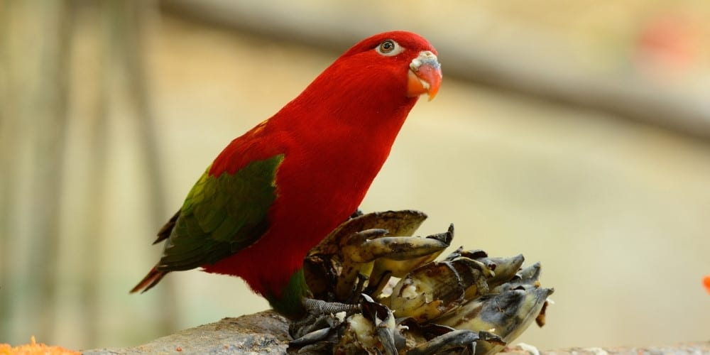 A chattering lory with his head tilted upwards.