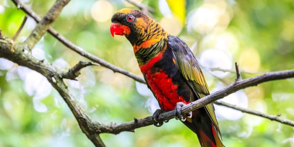 A dusky lory perched high in a tree.