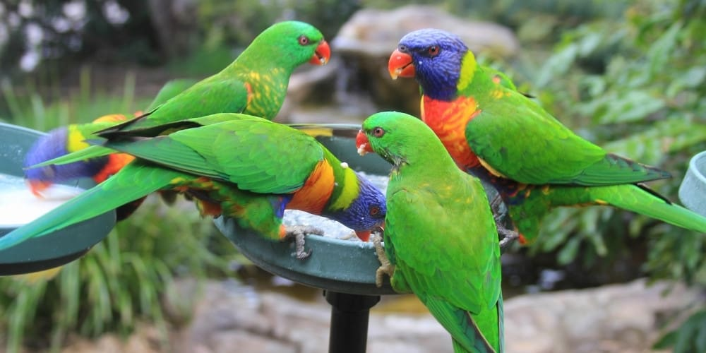 A group of four lorikeets gathered at a feeding station.