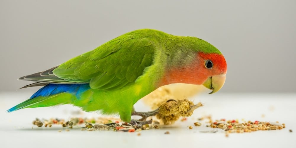 A green lovebird eating scattered seeds on a table set against a gray background.