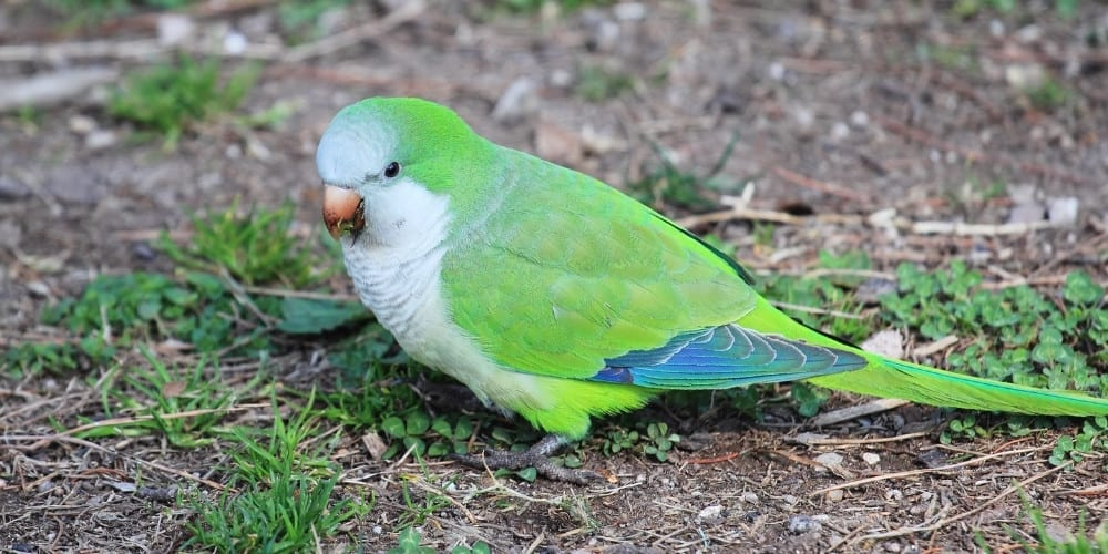 A cute green-rumped parrotlet on the ground in his native habitat.