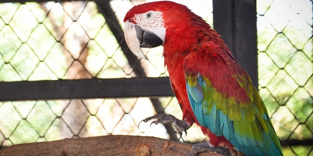 A green-winged, or red-and-green, macaw in a large cage at the zoo.