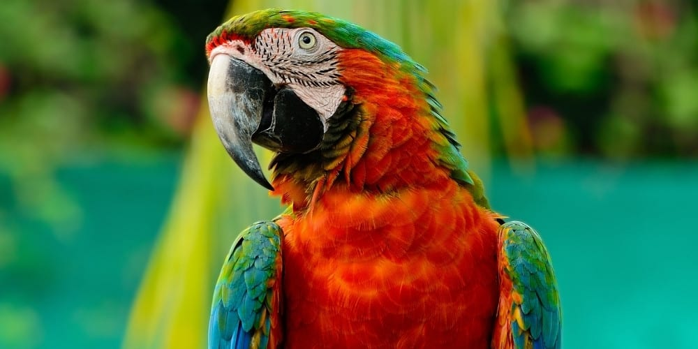 Frontal view of a harlequin macaw in a tropical setting.