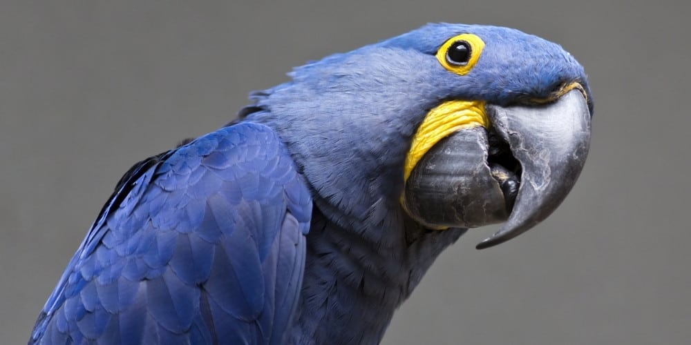A blue hyacinth macaw with his head tilted slightly against a gray background.