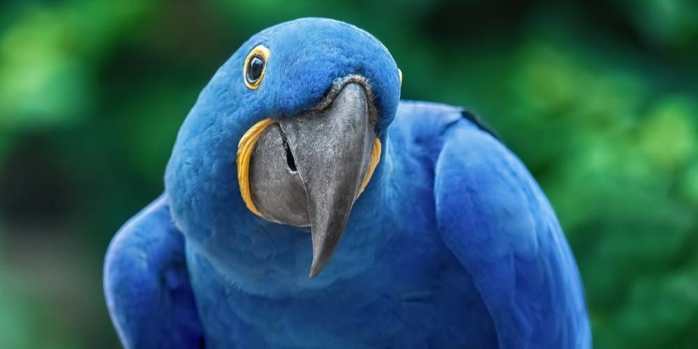 A hyacinth macaw viewed from the front as he strikes a funny pose.