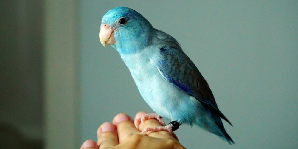 A light blue Pacific parrotlet with a leg band perched on a person's hand.
