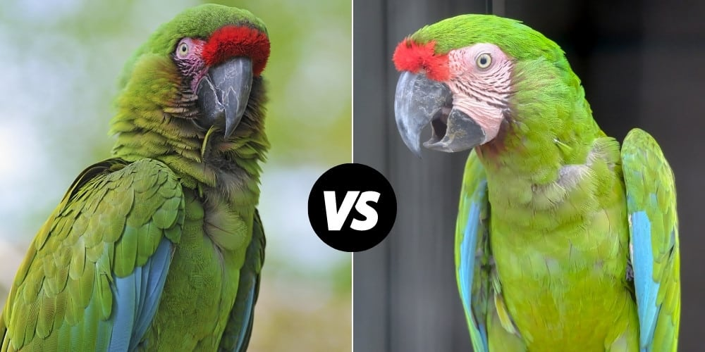 A military macaw on left, and a great green macaw on right.