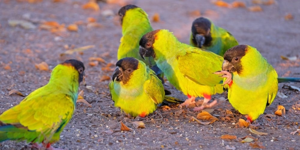 A group of nanday conures on the ground.