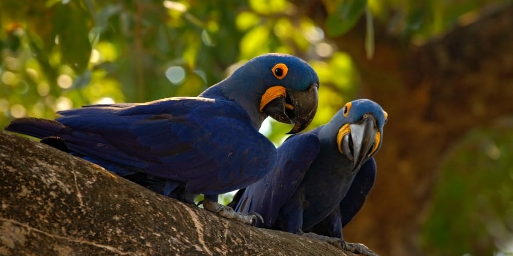 A pair of wild hyacinth macaws resting on a large tree branch.