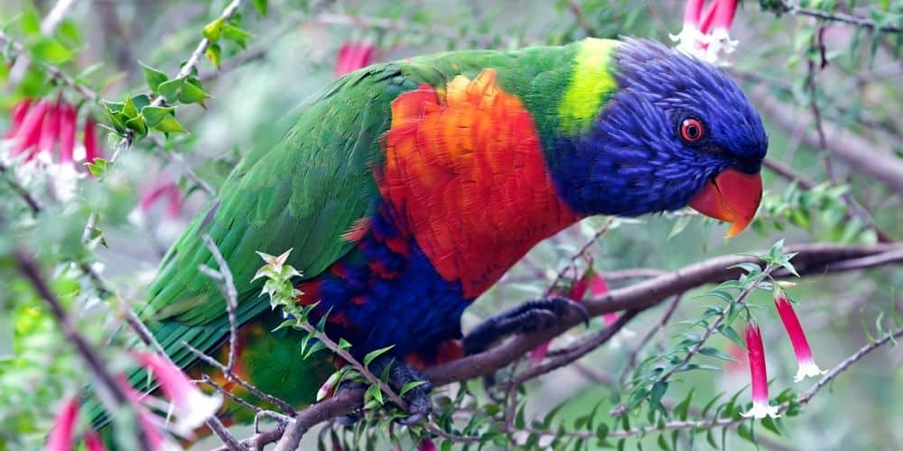 A brightly colored rainbow lorikeet sitting in a pretty flowering tree.