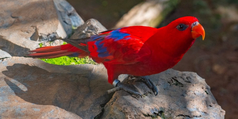A red lory resting on a large rock.