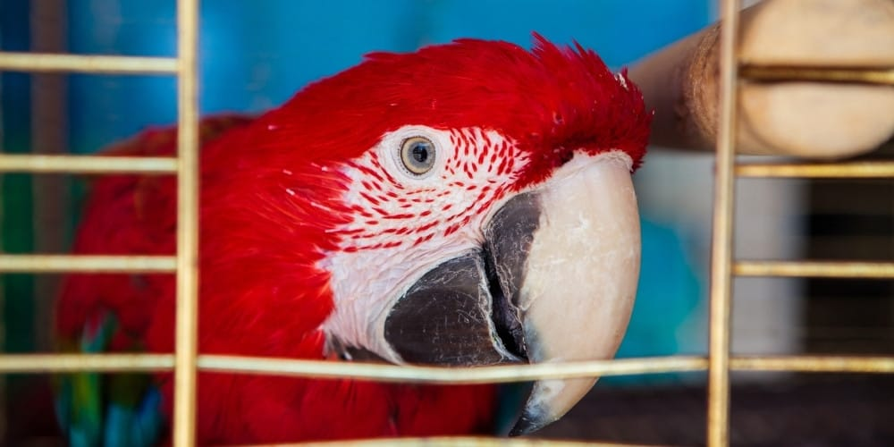 A scarlet macaw peering out through a small opening in his cage.