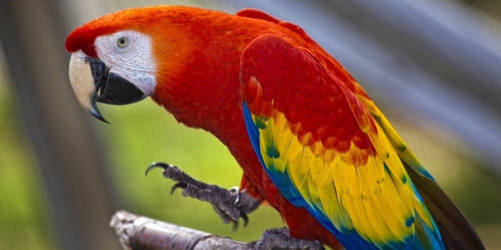 A scarlet macaw sitting on a tree branch with one foot held slightly aloft.
