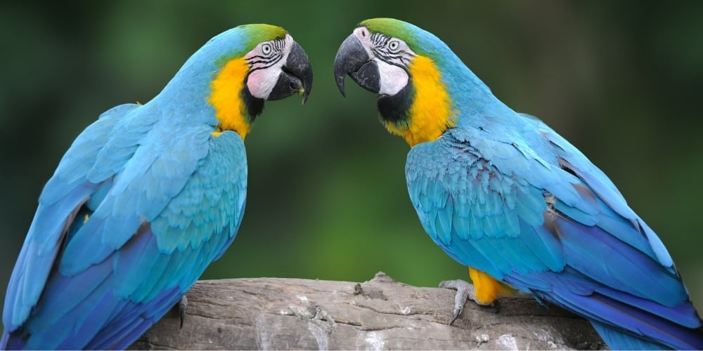 A pair of wild blue-and-gold macaws sitting on a branch communicating with each other.