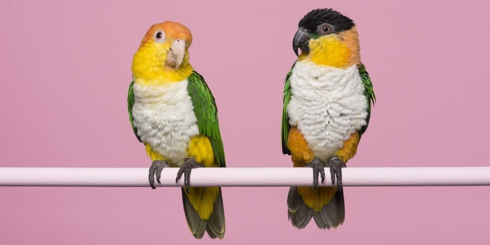 A white-bellied caique and a black-headed caique sitting on a perch against a pink background.