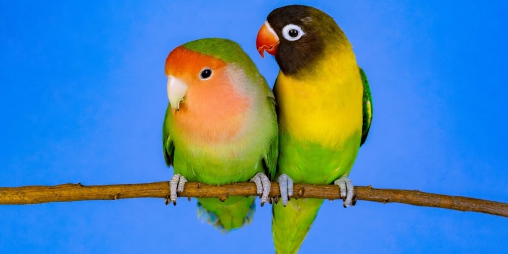 A colorful pair of lovebirds on a branch against a blue background.