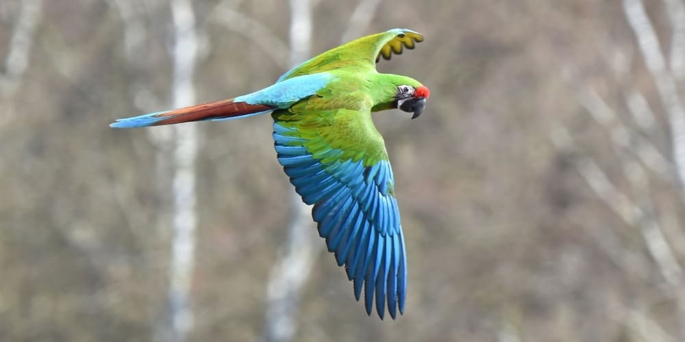 A beautiful wild military macaw flying with bare trees in the background.