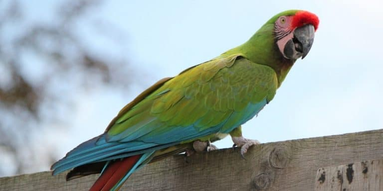 A military macaw perched on top of a wood board fence.